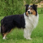 Border-Collie-Dog-Pic-150x150